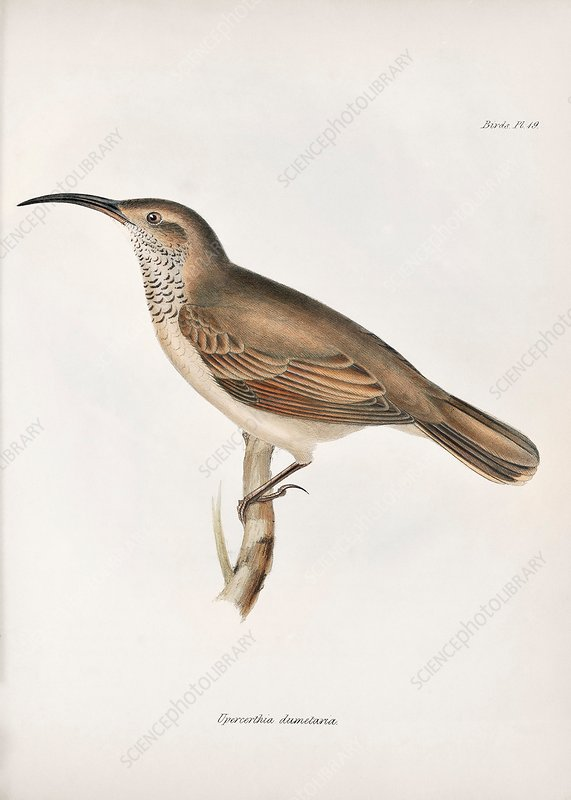 Scale-throated earthcreeper, 19th century