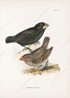 Large ground finch, 19th century