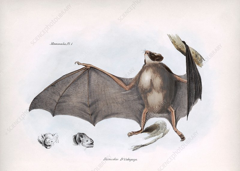 Common vampire bat, 19th century