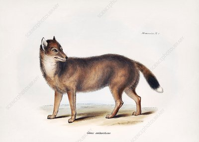 Falkland Islands wolf, 19th century