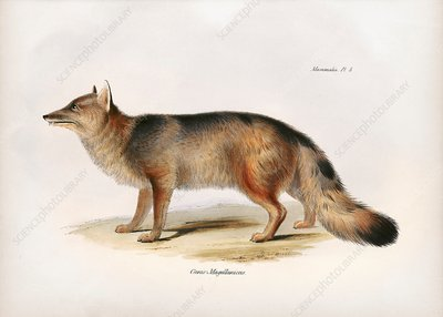 Andean fox, 19th century