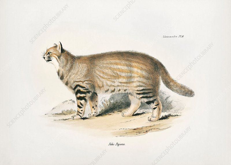 Pampas cat, 19th century