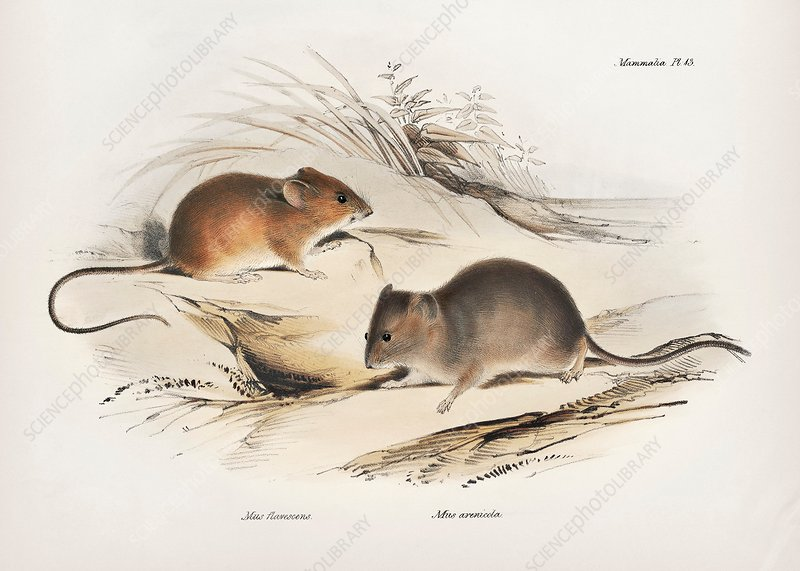 South American rodents, 19th century