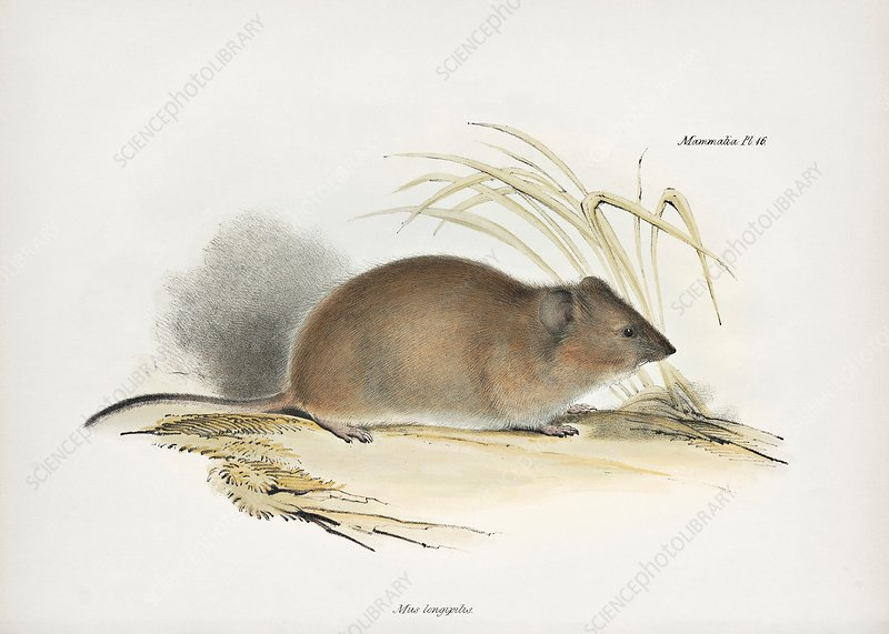Long-haired grass mouse, 19th century
