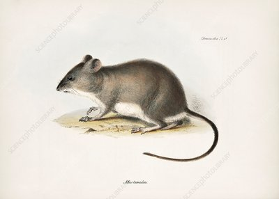 Waterhouse's swamp rat, 19th century