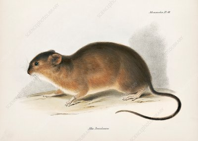 Brazilian marsh rat, 19th century