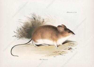 Darwin's leaf-eared mouse, 19th century