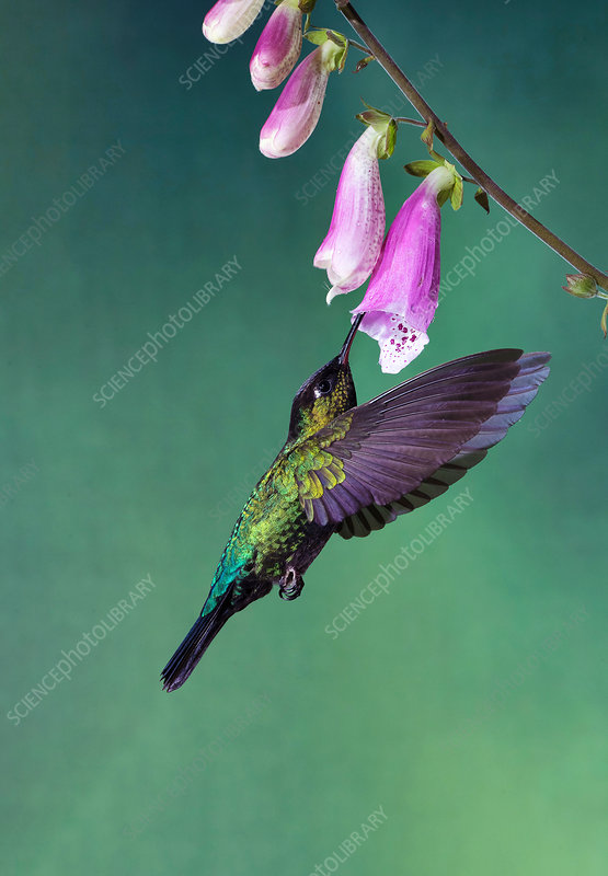Fiery-throated hummingbird feeding from a flower