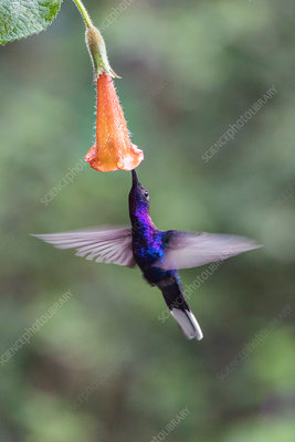 Violet sabrewing hummingbird feeding from a flower