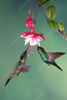 Fiery-throated and magnificant hummingbirds feeding