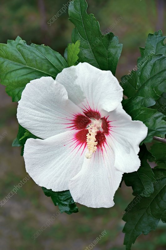 Rose of Sharon (Hibiscus syriacus)