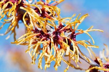Chris witch hazel (Hamamelis x intermedia 'Chris')