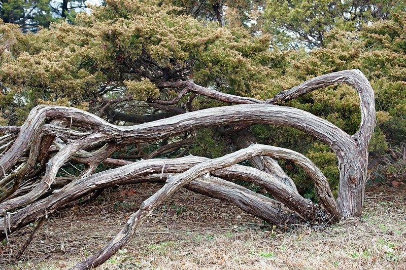 Savin juniper (Juniperus sabina)