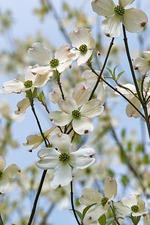Flowering Dogwood (Cornus florida)