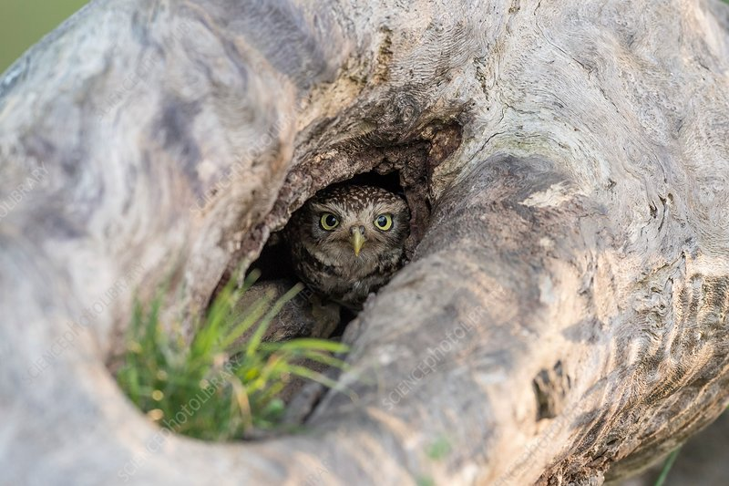 Little owl at a nesting site