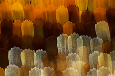Butterfly wing scales, light micrograph