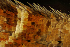 Moth wing scales, light micrograph