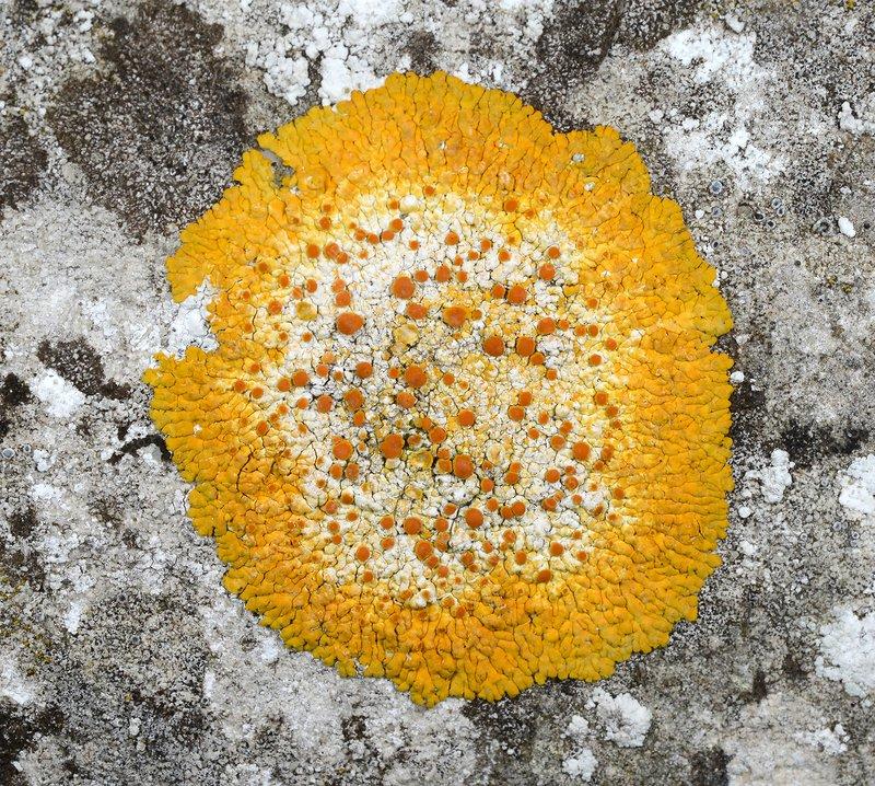 Lichen (Caloplaca flavescens)