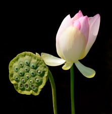 Indian lotus flower and seed head