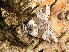 Sallow kitten moth