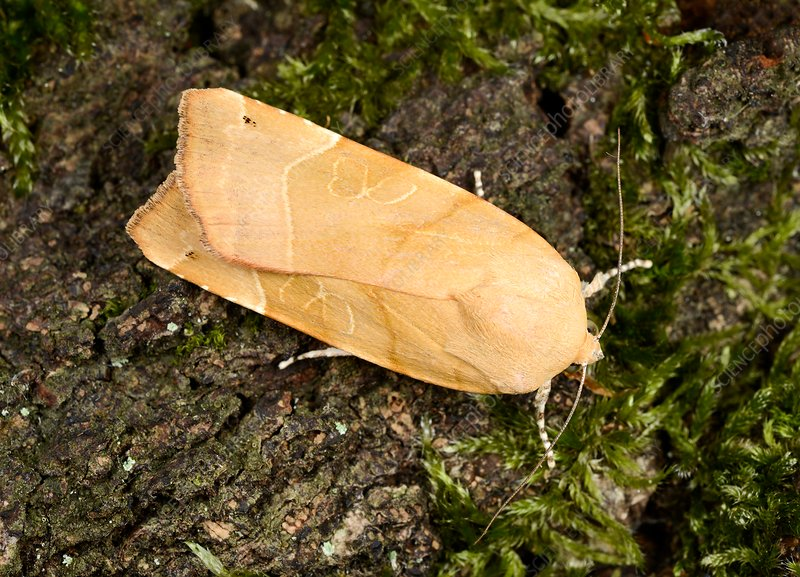 Broad-bordered yellow underwing moth