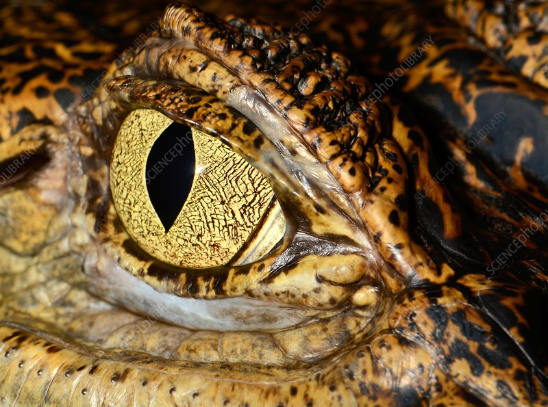 Spectacled caiman eye