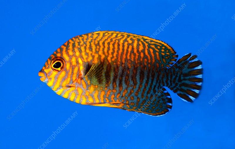 Potter's angel fish