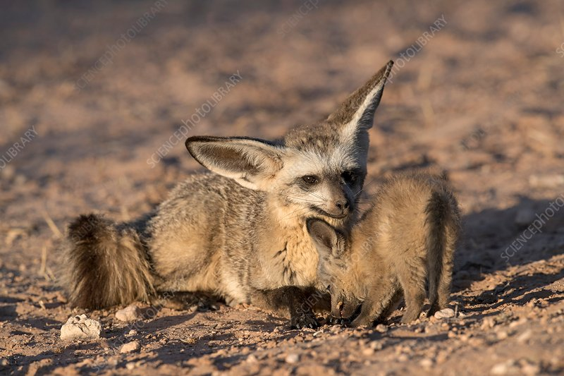 Bat-eared fox adult with pup