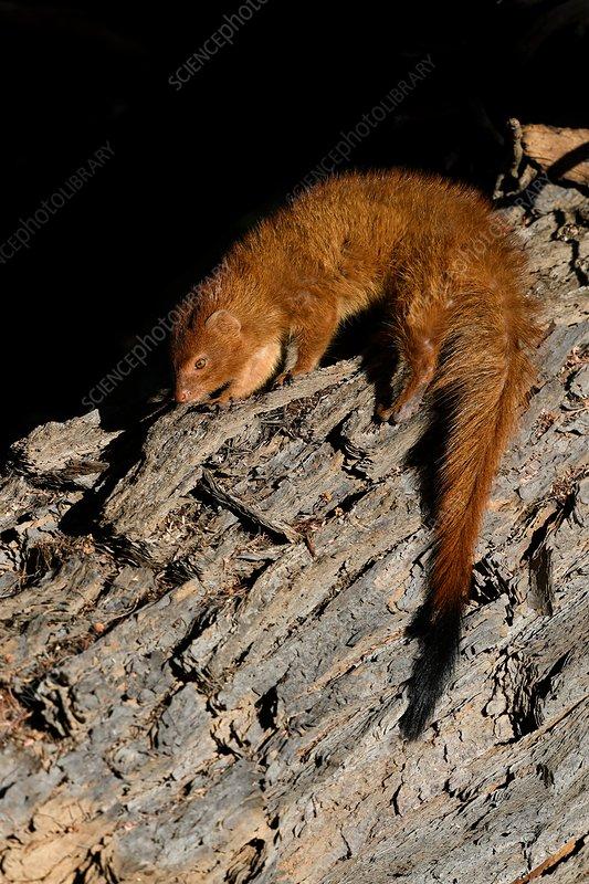 Slender mongoose sunning itself at dawn