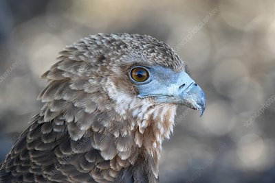 Portrait of an immature Bateleur eagle