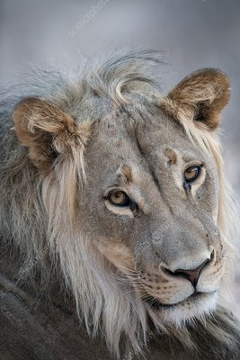 Young male African lion