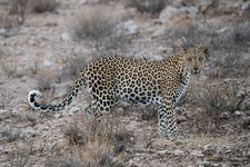 Male African leopard