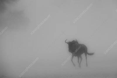 Wildebeest in a Kalahari dust storm