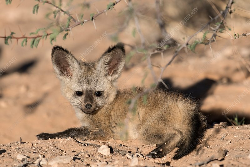 Bat-eared fox pup