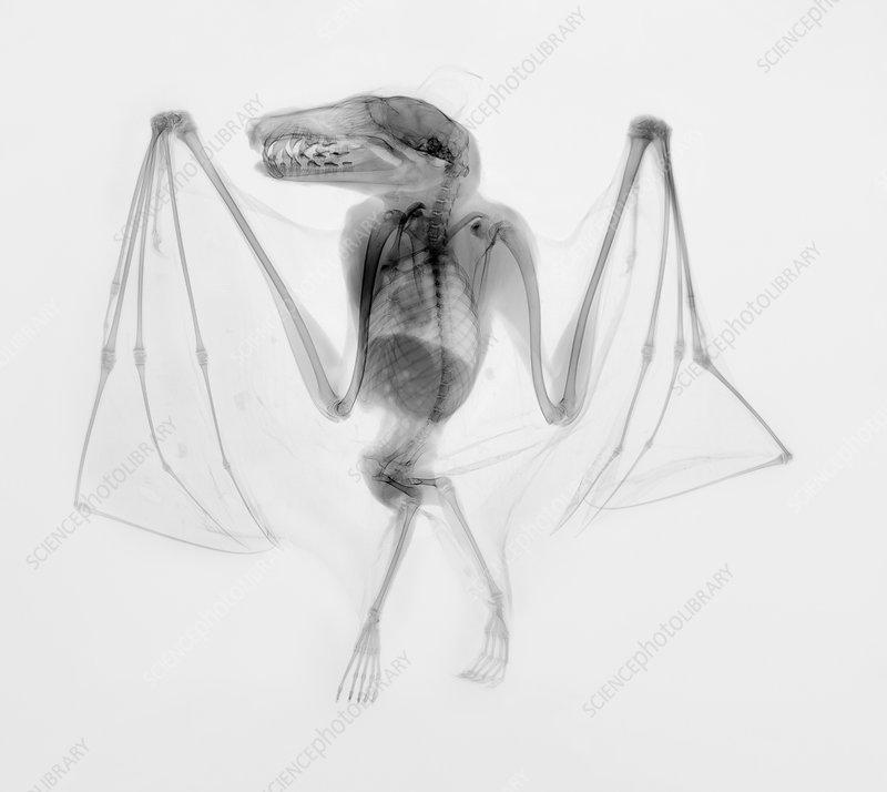 Egyptian fruit bat, X-ray