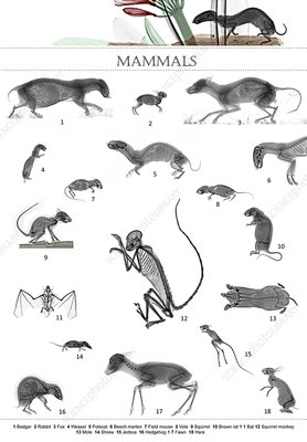 Mammals, X-ray montage