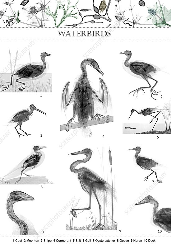 Waterbirds, X-ray montage