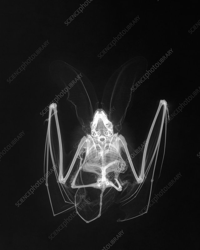 Long-eared bat, X-ray