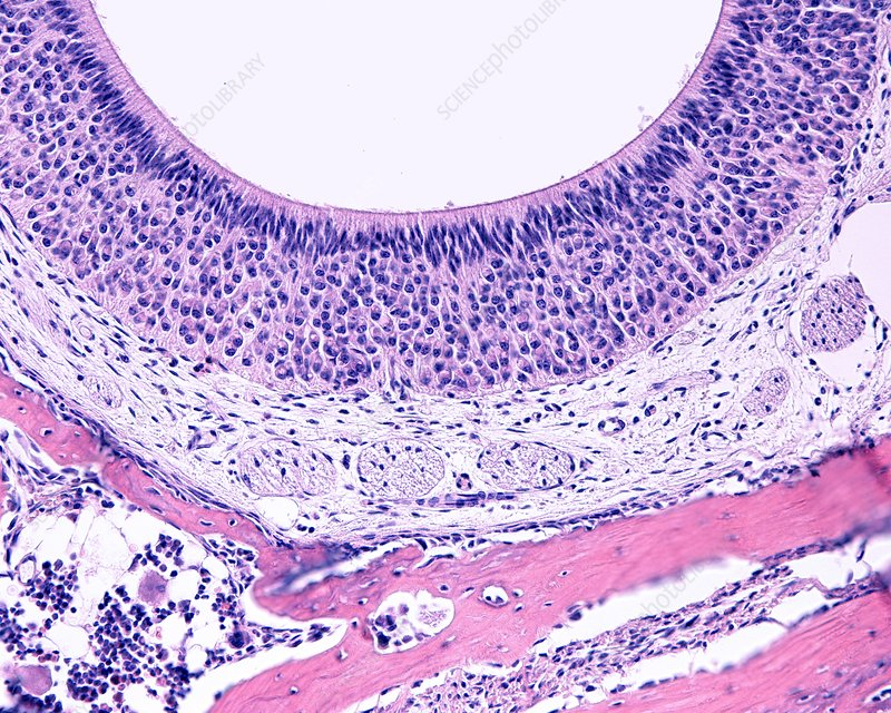 Vomeronasal organ, light micrograph