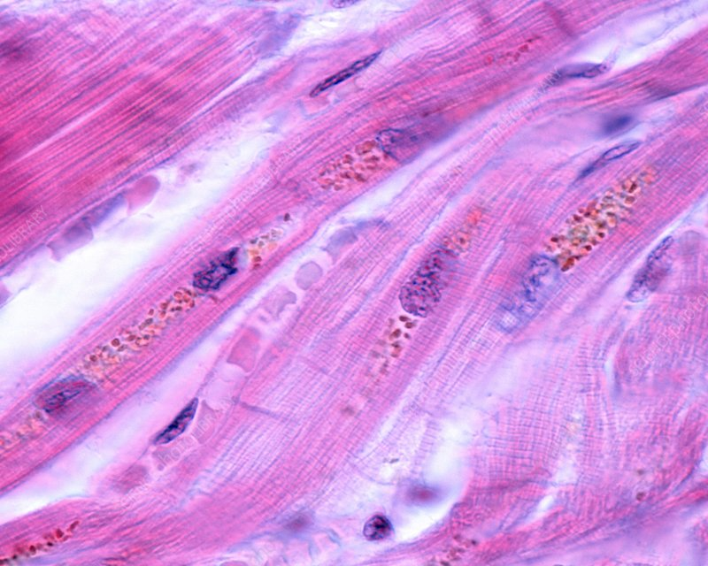 Cardiac myocytes, light micrograph