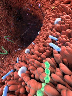 Intestinal bacterial flora, illustration