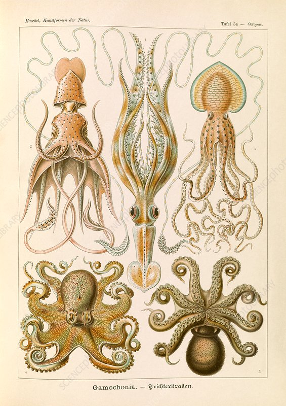 Gamochonia octopuses, 1904 illustration