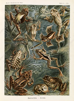 Batrachia frogs, 1904 illustration