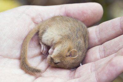 Common dormouse anaesthetised in a researcher's hand