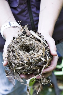 Common dormouse nest in a researcher's hand