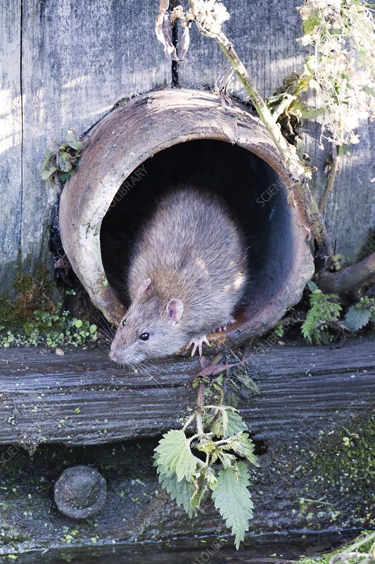 Brown rat in a pipe