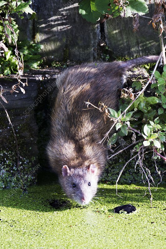 Brown rat by water