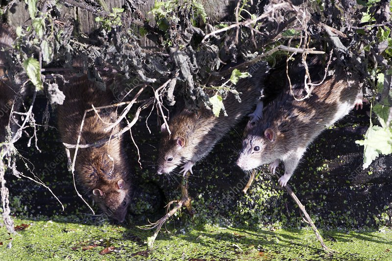 Brown rat family by water