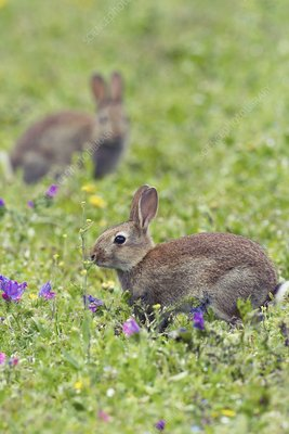 European rabbits grazing in a meadow
