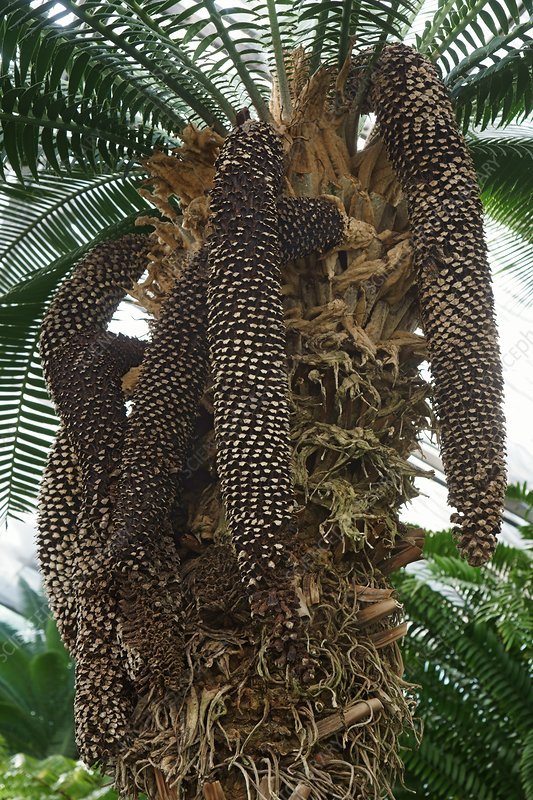 Giant dioon plant with male cones (Dioon spinulosum)